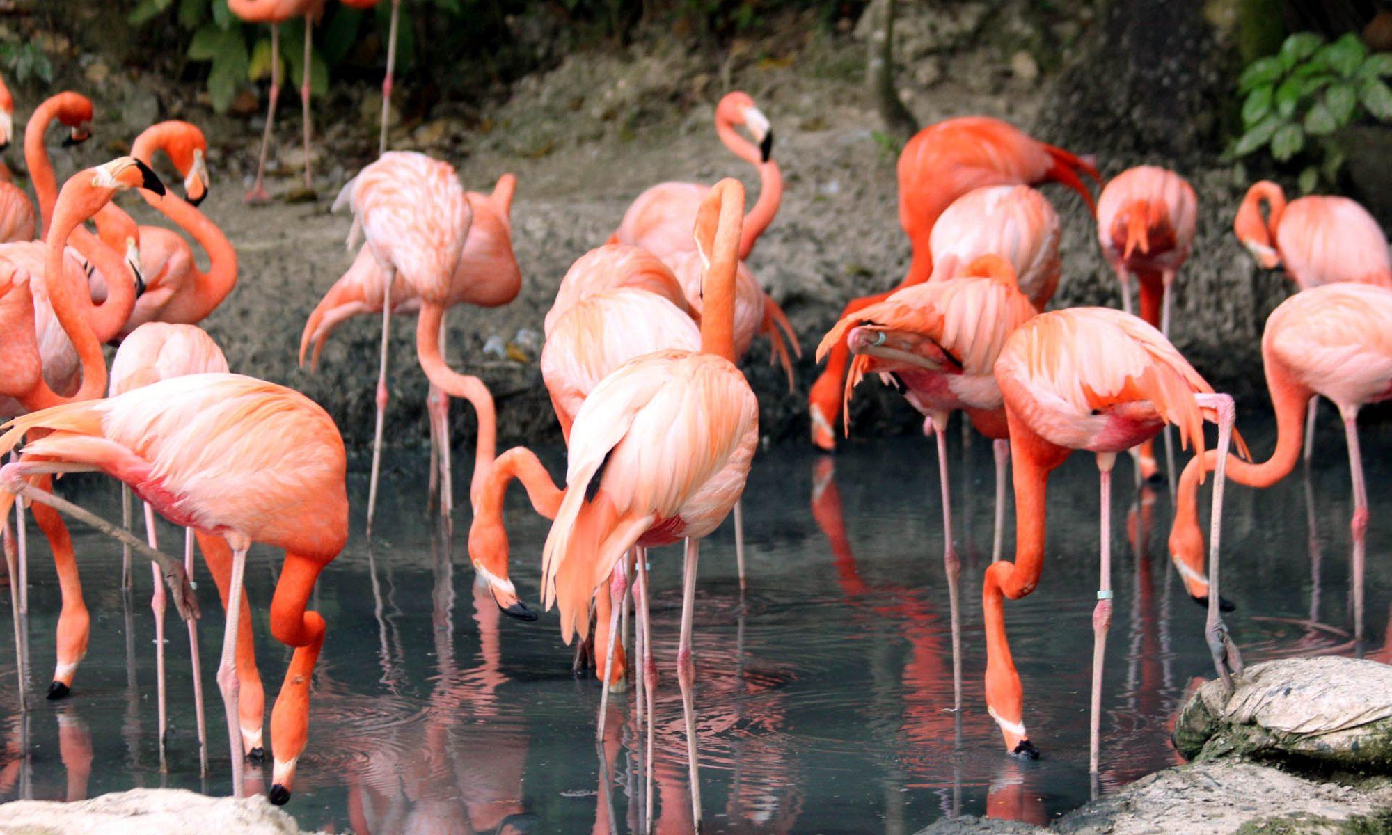 Balaton Flamingó